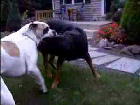 American bulldog vs rottweiler