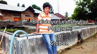 Budidaya Lele Phyton. Kota Stabat Sumatera Utara.