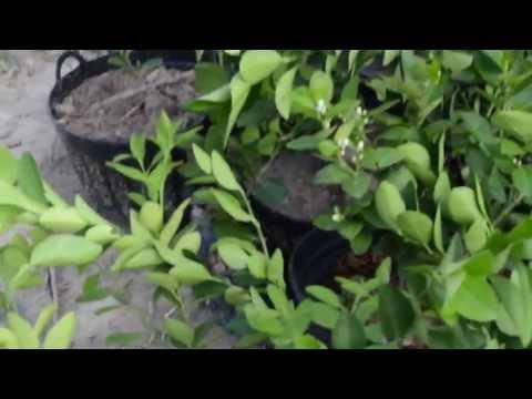 มะนาวแป้นรำไพ จากน้ำขุ่น อุบลราชธานี