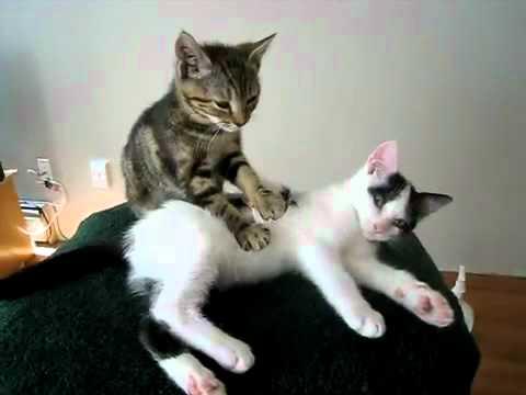 gatinho fazendo massagem a outro gatinho.mp4