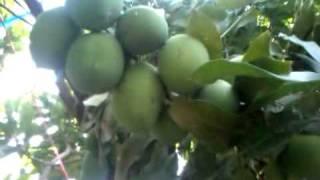 EvaGROW memicu pertumbuhan buah Mangga lebih banyak.