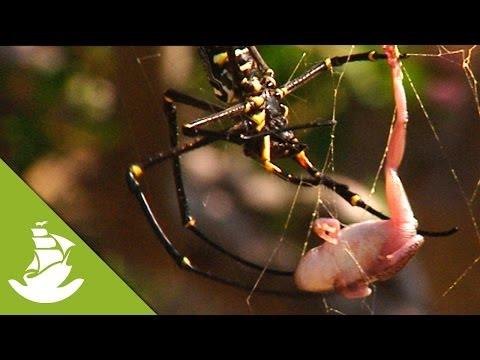 Spider Vs Frog