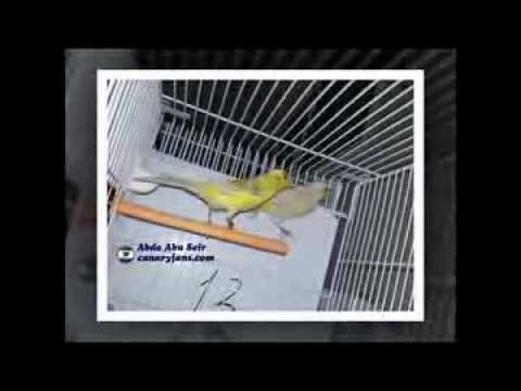canaryfansclub - My Breeding Season 2013 - Canary Birds