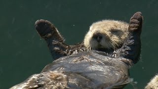 Sea Otter Oups