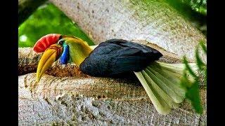 """Phượng Hoàng Đất - Loài Chim Với Bí Mật """"Bế Quan"""" Để Sinh Con (Thuyết Minh)"""