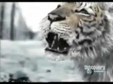 animal face off bear vs tiger animal planet