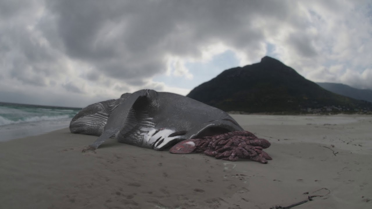 Hiu Megalodon Gigi Besar