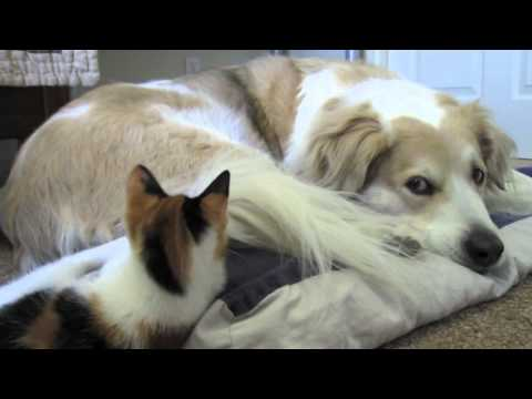 Video 40: Dog playing with cute adorable calico kitten