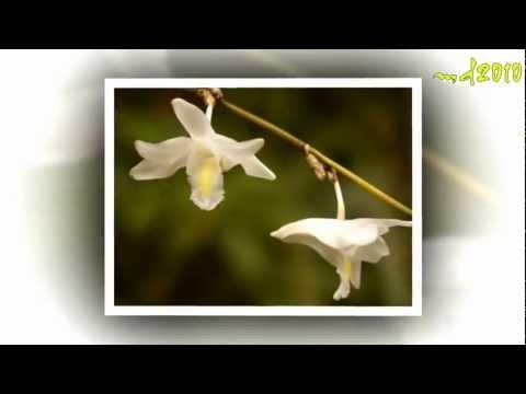 hoa phong lan co dang hinh chim bo cau