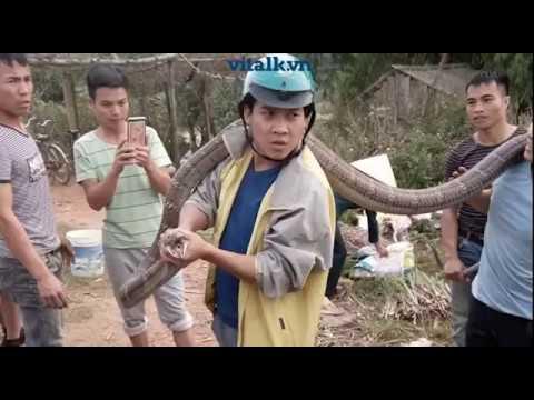 Bắt sống rắn hổ mang chúa khổng lồ kịch tính hơn cả phim kinh dị Mỹ