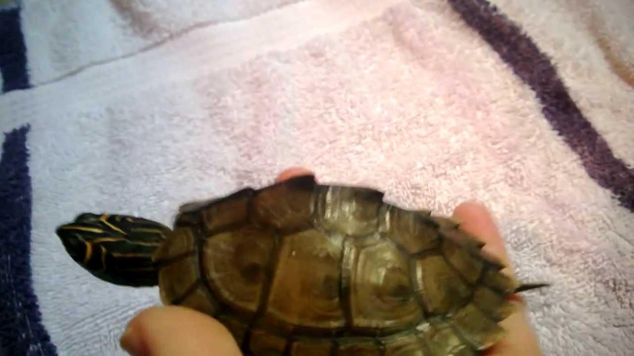 Baby Dalek The High Orange Mississippi Map Turtle  YouTube