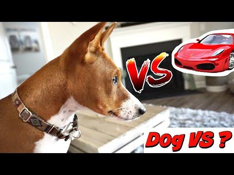 Funny Basenji Dog VS Racing Car Gone Wrong