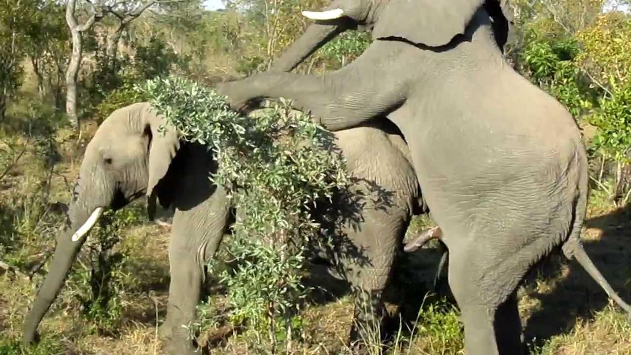 Gay Elephants Doin It - Rare Footage - YouTube