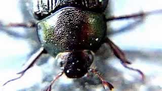 [Largest Beetle ,like never seen Before] Video