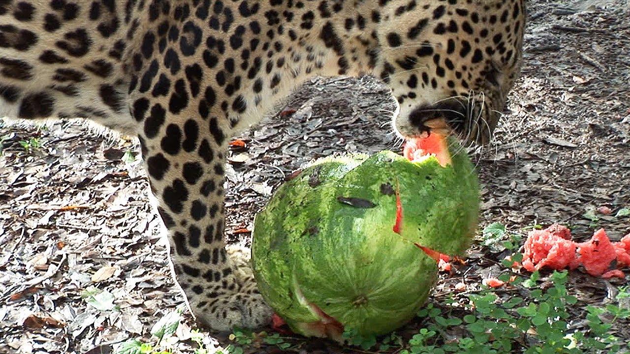 Big Cats Watermelons
