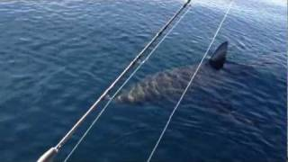18+ Ft Great White Shark Stalks Boat On Video (part 1