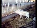 Pecorelle In Calore