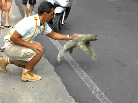 Three-toed Sloth Crossing The Road In Costa Rica (Sloth's Perpective)