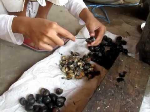 cara ternak ayam joper
