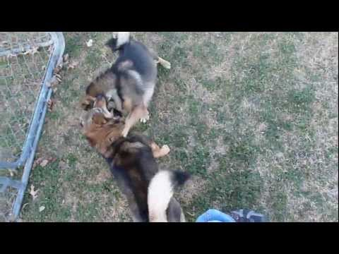 Swedish Vallhunds Arwen and Hermione Wrestling