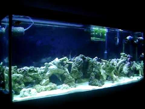 55 gallon salt water tank with purple coraline algae live for White algae in fish tank