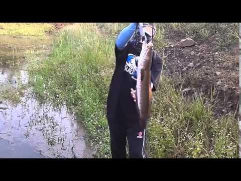IS đi câu cá lóc khủng..( Sộp bự )