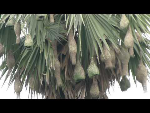 Baya Weaver nests @ Dhaniakhali