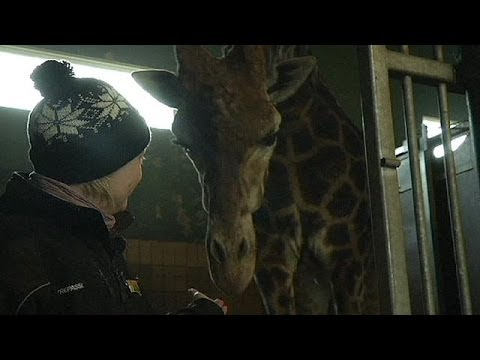 Second giraffe under threat in Danish zoo