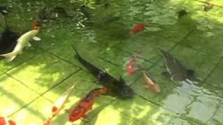 Kolam Ikan Hiasan