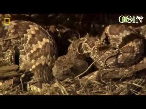 Thế giới Động vật Hoang dã-Những loài rắn độc nhất thế giới.