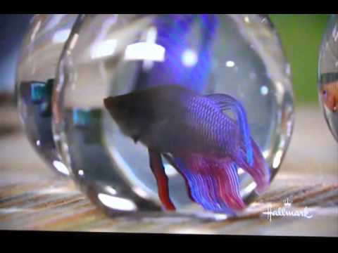 Petkeeping with marc morrone betta fish care youtube for How to care for betta fish