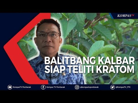 Balitbang Kalbar Akan Teliti Kratom Mulai Januari 2020