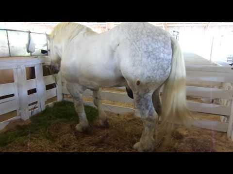 Cavalo Percheron - Criação de Cavalos - Efapi 2013