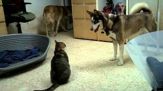 Husky vs cat