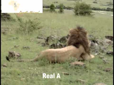 Authentic Africa Safari with Real Africa Safaris.flv