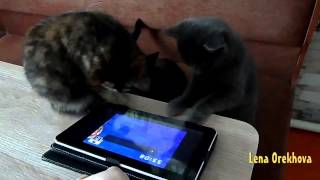 Cats play at a table on the tablet ipad