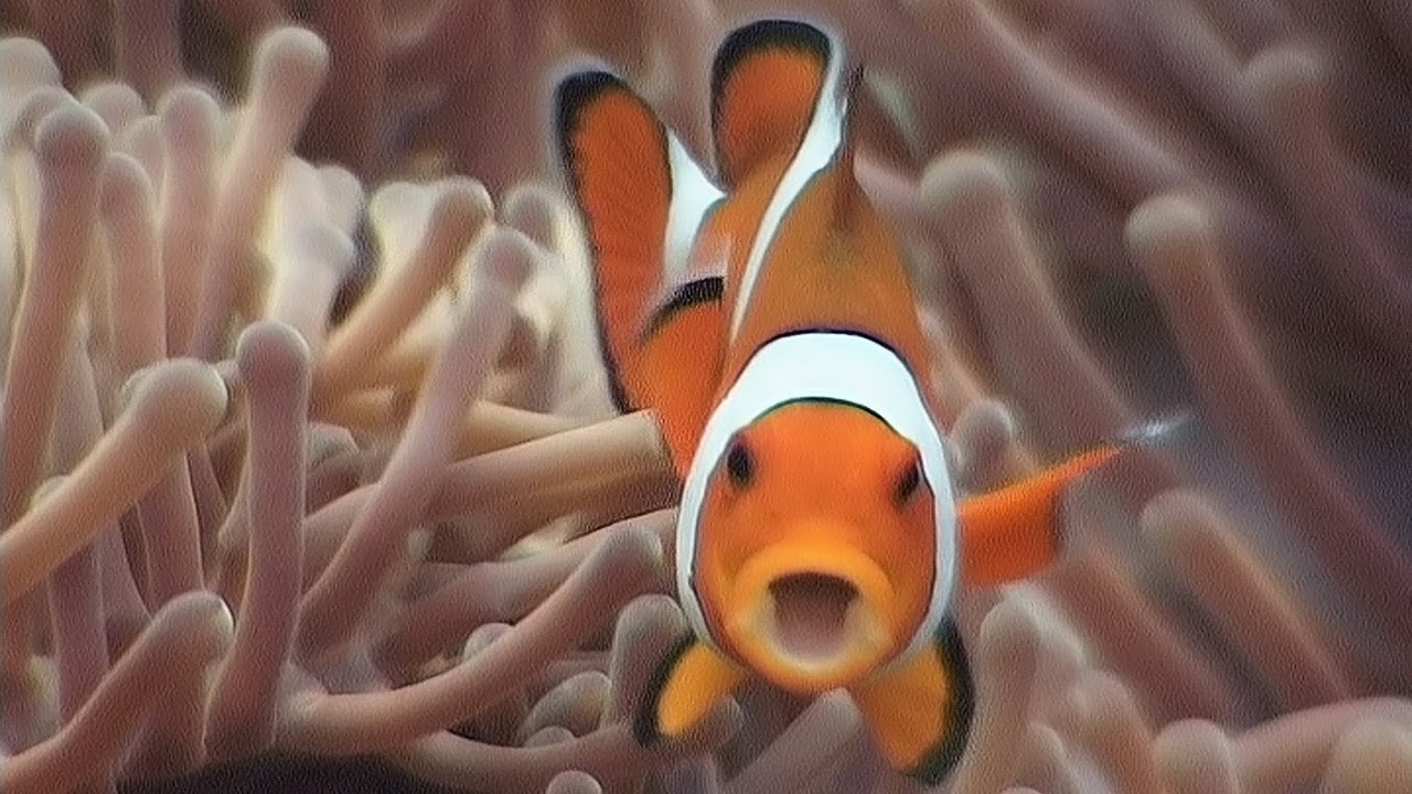 sea anemones and anemonefish a symbiotic relationship in which one organism