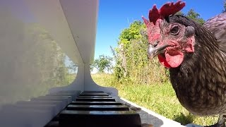 Chicken Playing Piano