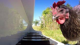 Chicken Playing Piano
