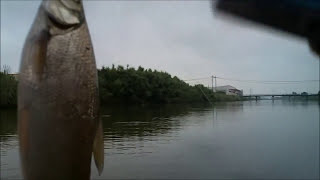 ワタカのイブニングライズを釣る