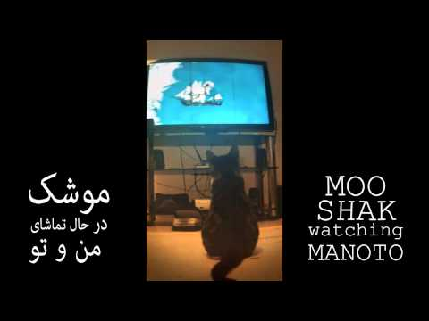 My cat (Mooshak) watching Manoto TV..........................(Cypriot cat joined Persian family)