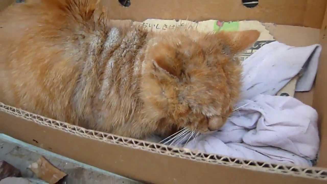 Cat Scabies Contagious Humans