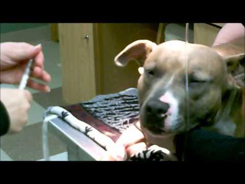 Animal Hospital of Chetek Anesthesia Video.wmv