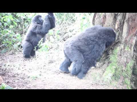 Gorilla Twirling