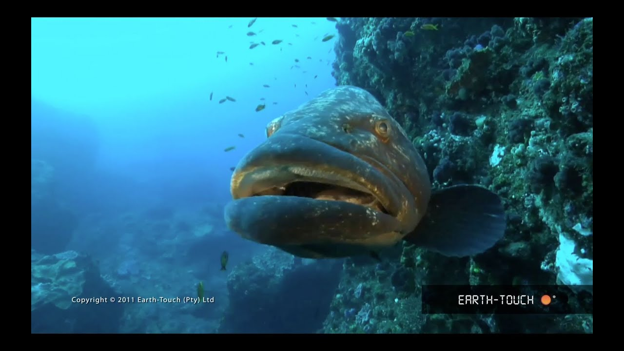 Fish that rule lake malawi racing dolphins reef animals for Lake malawi fish