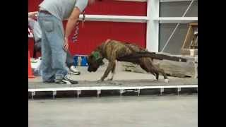 2010 APA Weight Pull Nationals Strongest Dogs In The World