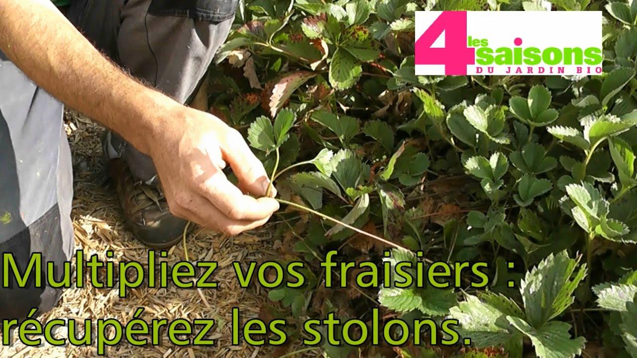 Les 4 saisons du jardin bio multipliez vos fraisiers r cup rez les stolons youtube for Jardin 4 saisons albi