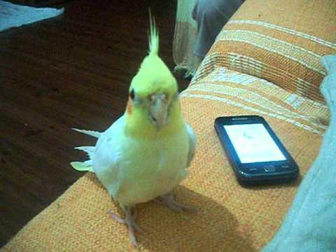 Calopsita Mario respondendo ao toque do telefone