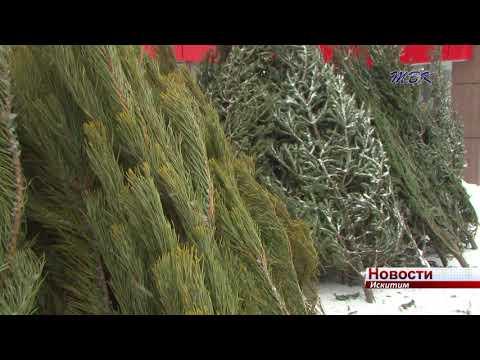 Продавцы новогодних деревьев работают в Искитиме без нарушений