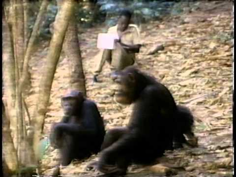 Jane Goodall on Chimpanzee Experimentation